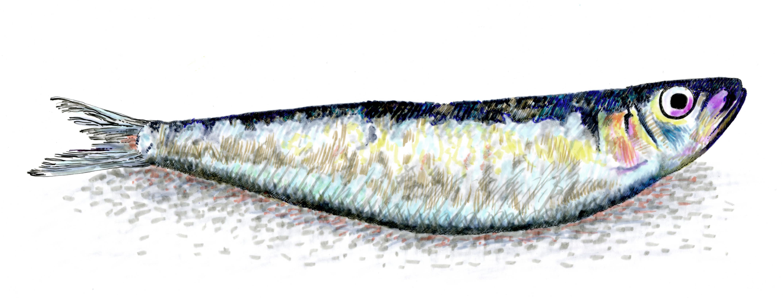 sardinhalr